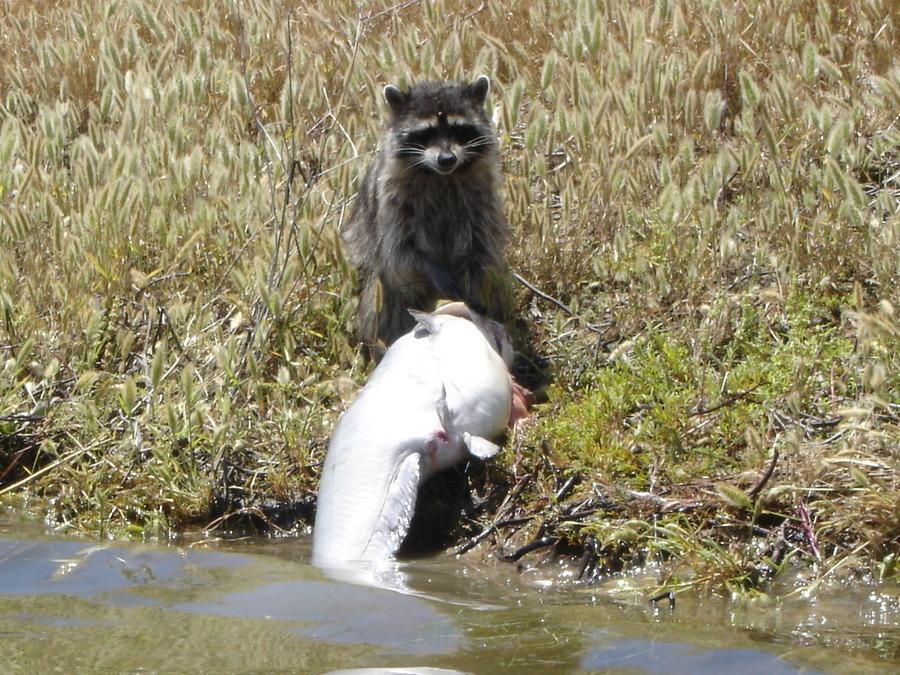 Raccoon eating big catfish fishing talks for Do raccoons eat fish