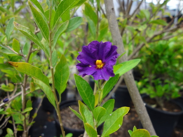 small purple flower with yellow center  flowers forums, Beautiful flower