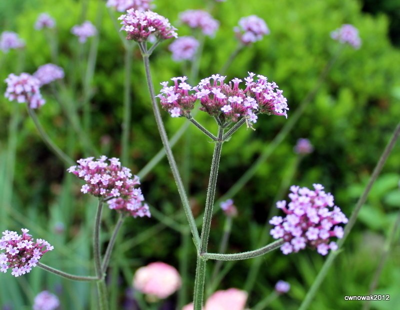 tall spindly plant  feet high with small purple clusters of tiny, Beautiful flower