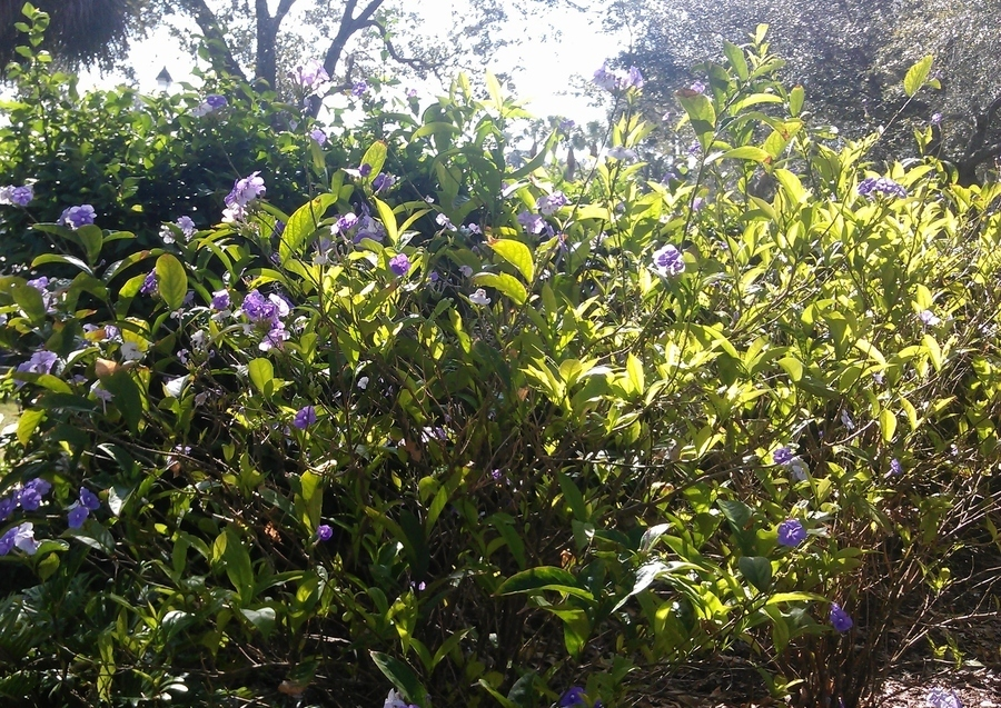 Can someone help me identify this bush with purple flowers for Purple flowering shrubs identification