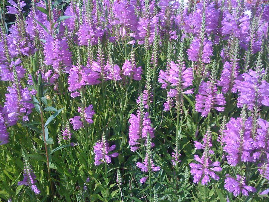 Please help id this purple perennial flowers forums for Purple flowering shrubs identification
