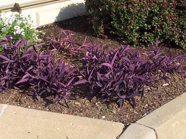 low growing purple plant  flowers forums, Natural flower