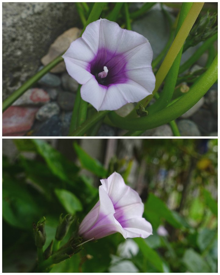 small white and purple trumpetshaped flower?  flowers forums, Beautiful flower