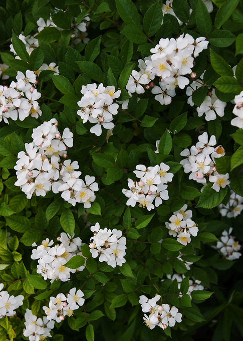 Please identify this flowering bush flowers forums for White flowering bush