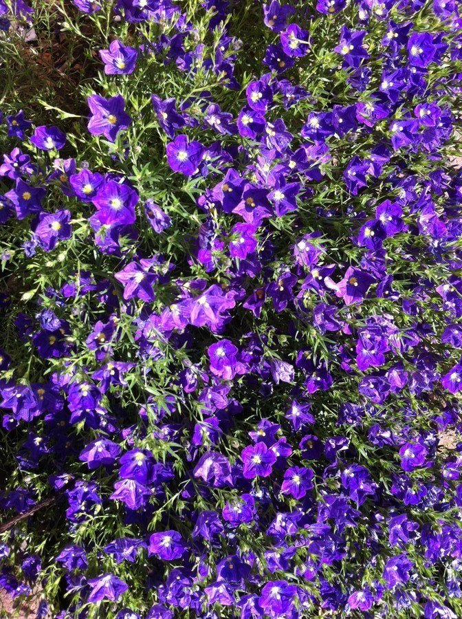 purple flowers yellow center bushy plant pic  flowers forums, Beautiful flower