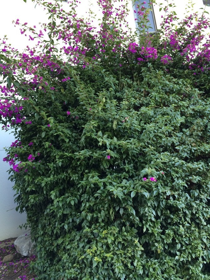 Image gallery large bushes for Large flowering shrubs
