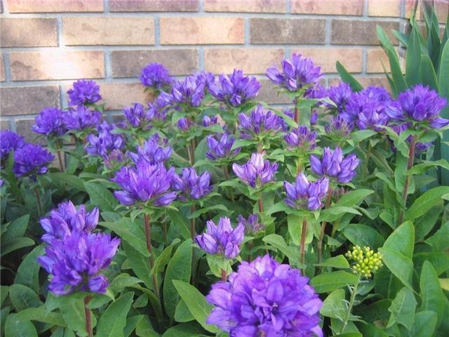 purple perennial flower identification  flower, Beautiful flower