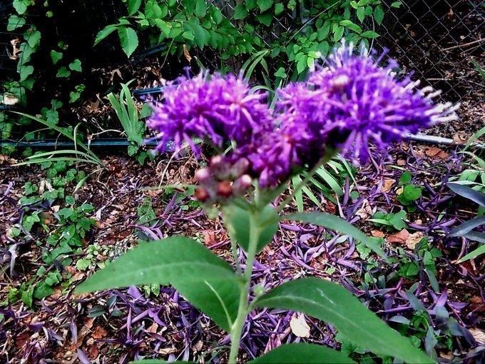 unknown purple perennial  flowers forums, Beautiful flower