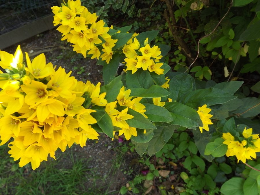 Yellow flowers forums for Plant with tall spikes of yellow flowers