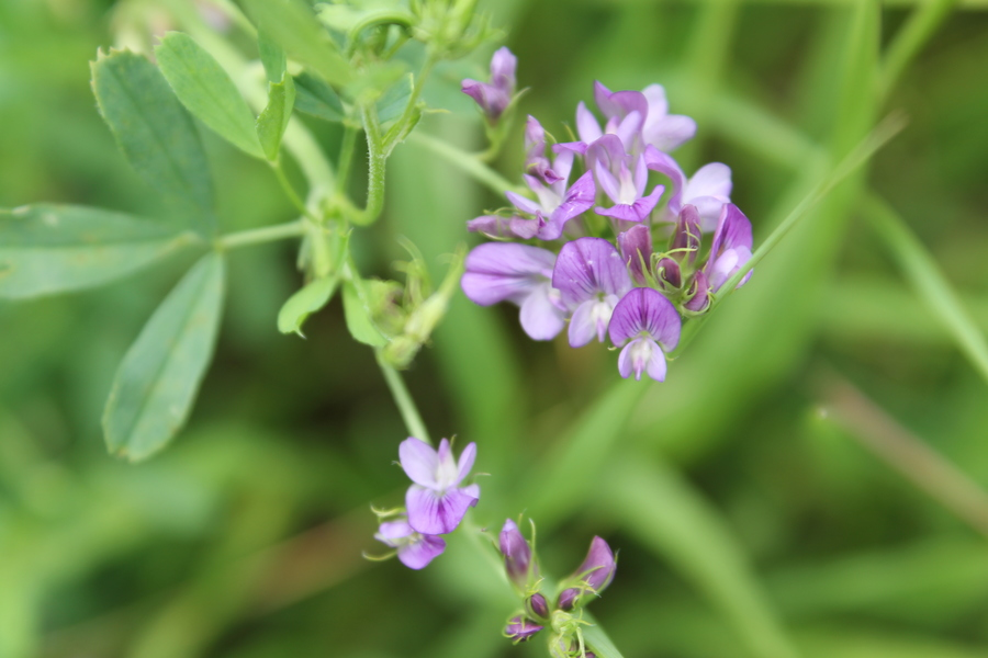 Purple Wildflower Blooming In Wisconsin Along Roadside