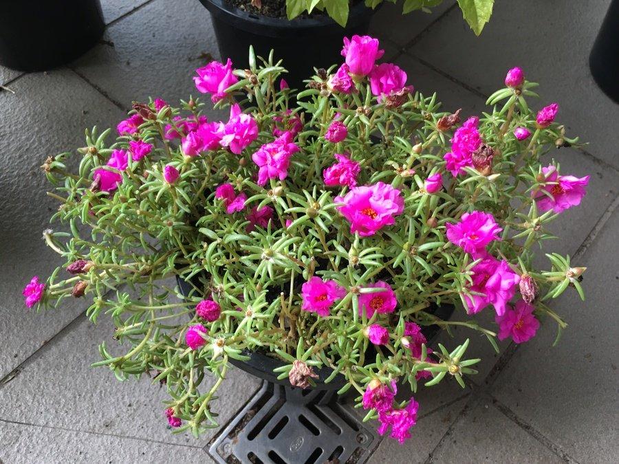Succulent flowers forums - Flowering succulent house plants ...