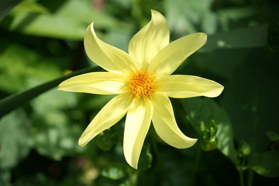 Can Anyone Identify This ? Yellow 8 Petal Flower Picture ...