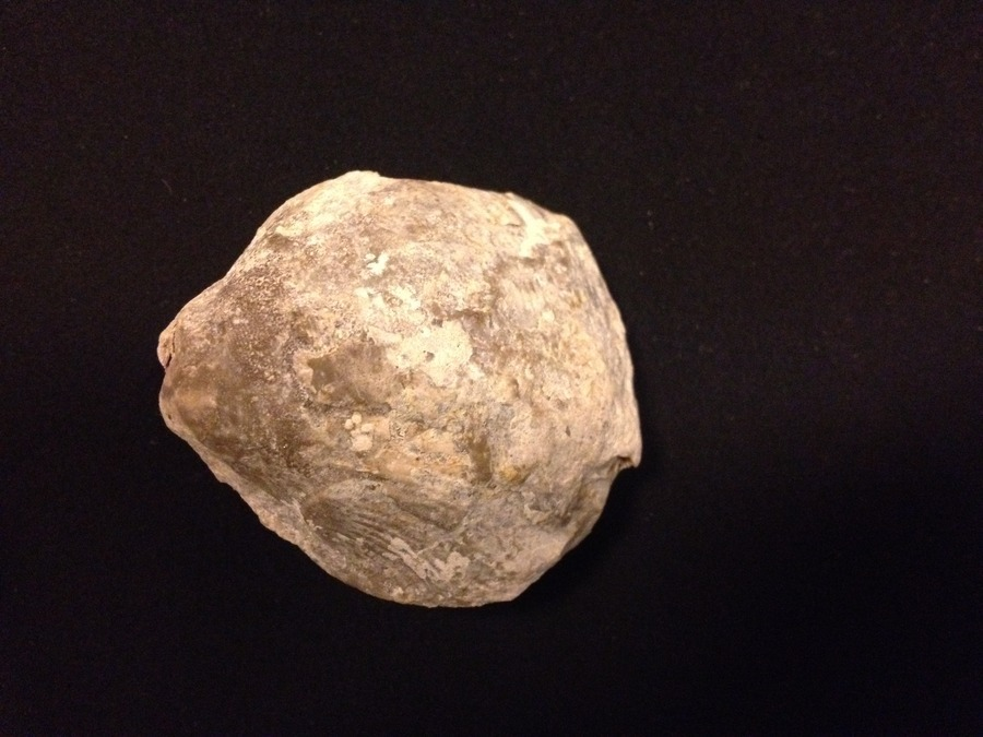 Oyster Or Clam Shell Fossil | Dinosaur Home