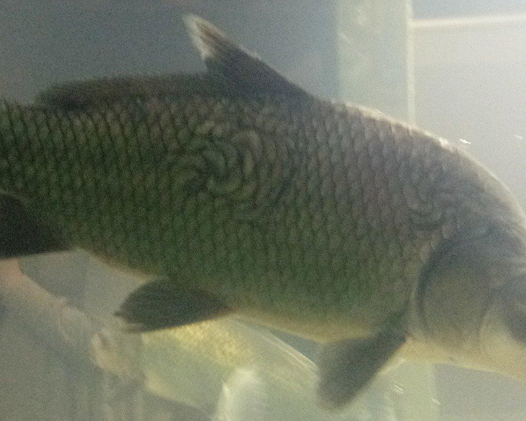 strangely scarred buffalo  fish
