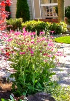 Tall plant with tiny pink flowers what is it called flowers forums mightylinksfo