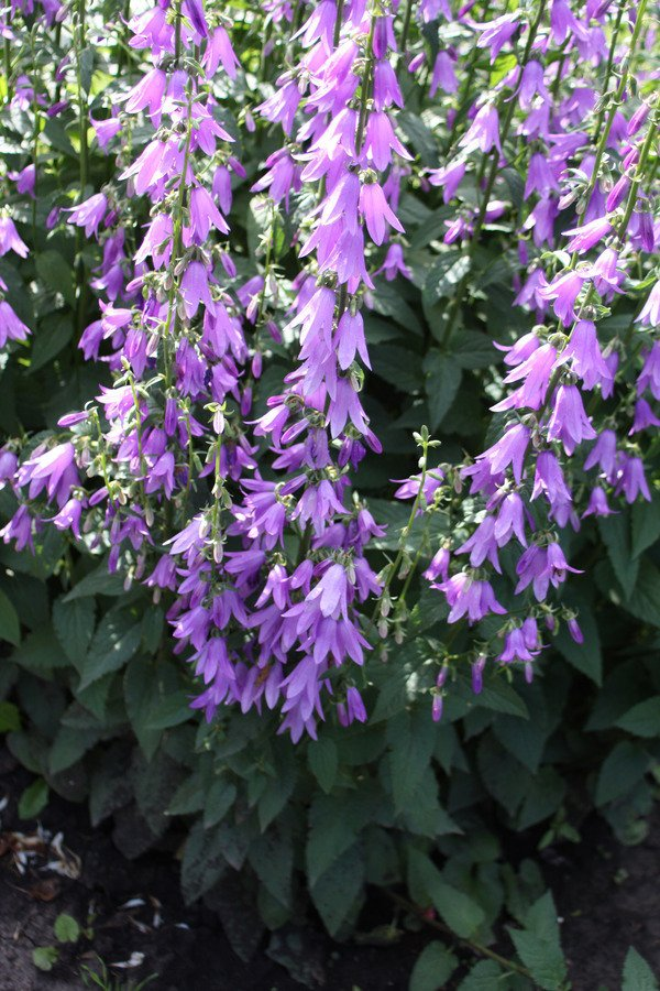 Flowers flowers forums i have had these flowers growing in my yard for 4 years and nobody can identify the proper name for them they are upsidedown purple bell shaped flowers mightylinksfo Images