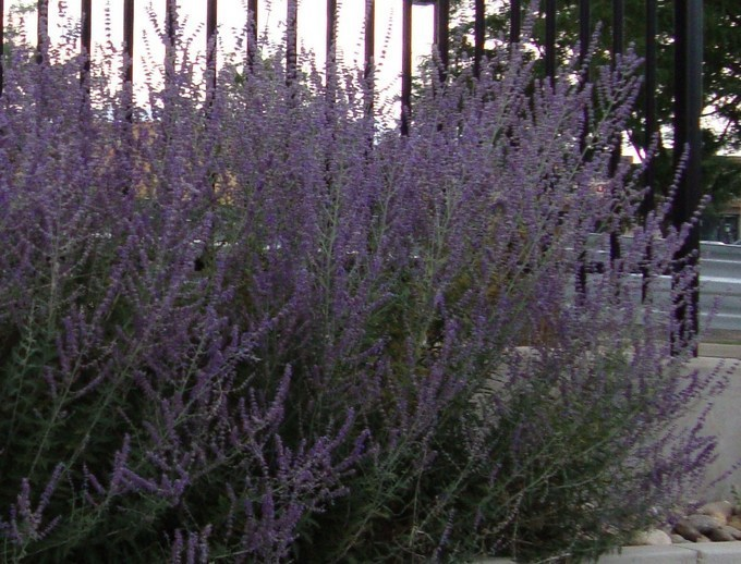 Purple Flowering Bush In Colorado Flowers Forums