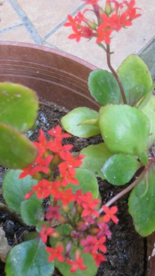 Succulent With Tiny Red Flowers Flowers Forums