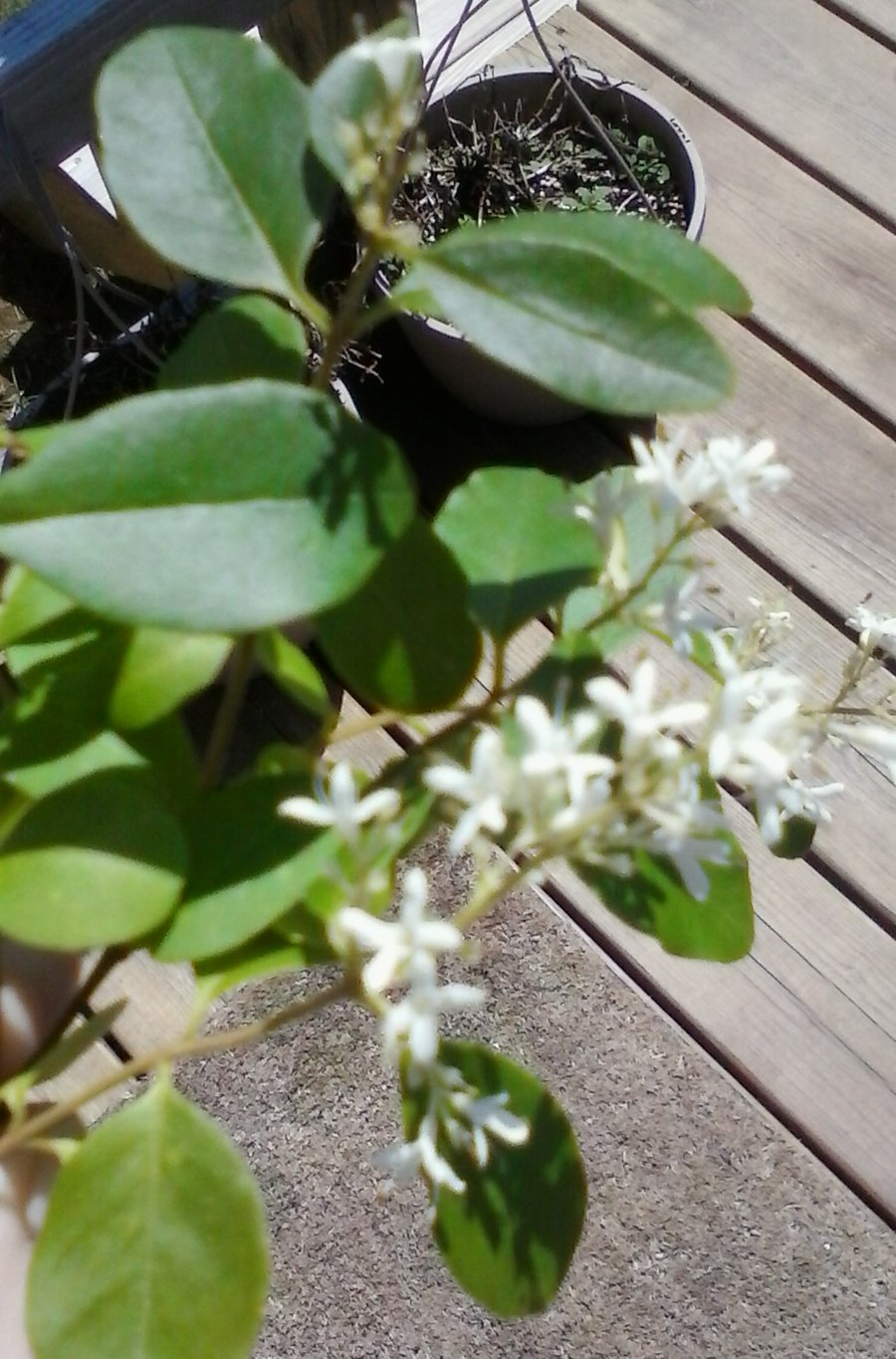 Stinky Bush With White Blooms Flowers Forums