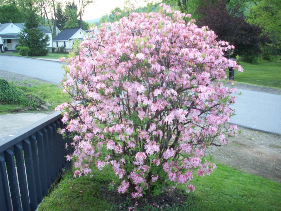 Can anyone identify this flowering shrub there were several can anyone identify this flowering shrub there were several guest 6 years ago mightylinksfo