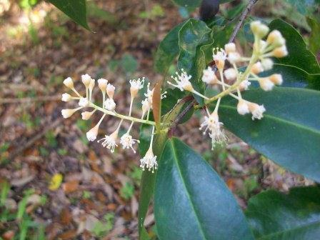 Need help with id of small flowering tree flowers forums the tree has yellow white flowers that grow in an interesting pattern and it also had black berries as well the soil was very rich mightylinksfo