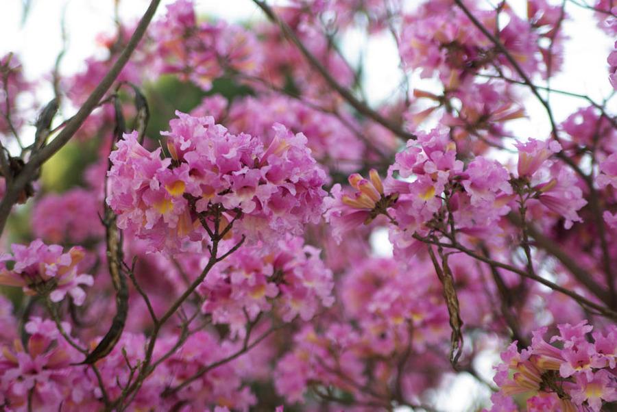 Please Help Identify This Pink Flowering Tree Flowers Forums