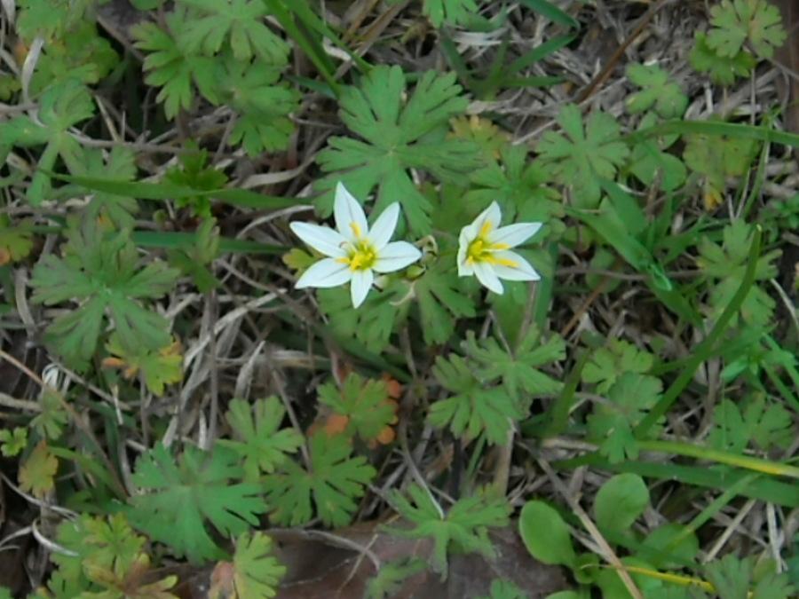 White flower with 6 petals gallery flower decoration ideas small white flower with 6 pointed petals and yellow center in se small white flower with mightylinksfo Gallery