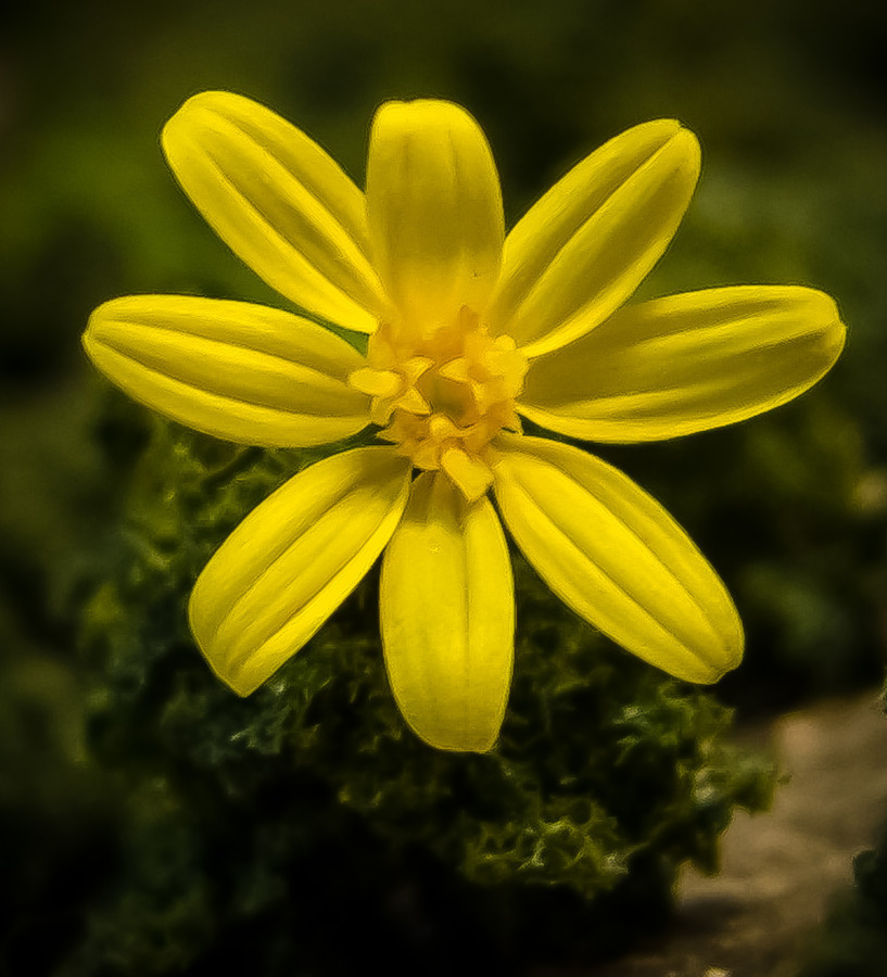 Texas yellow wildflower 8 petals flowers forums mightylinksfo