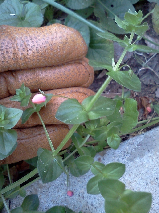 Weed with tiny pink flowers flowers forums weed with tiny pink flowers mightylinksfo