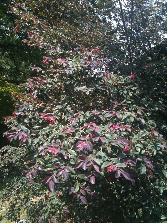 Shrub Tree With Green Leaves Year Round Red Leaves Tiped