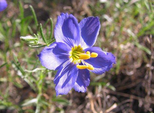 Id blue texas wildflower six petals yellow stamen flowers blue texas wildflower six petals yellow stamen mlhradio 7 years ago mightylinksfo Choice Image