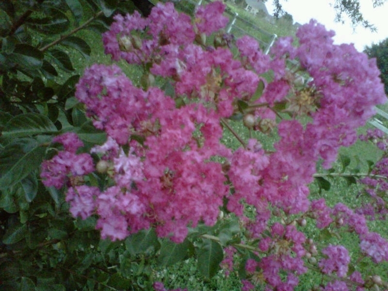 Identify Flowering Bush Flowers Forums