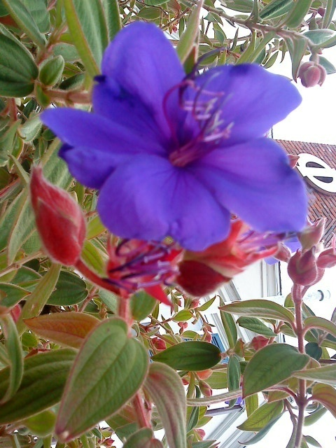 Bluepurple flower long stamen red buds help west coast i saw this flower in santa barbara california and it was gorgeous i believe its lasiandra but i know nothing about plants can anyone point me in the mightylinksfo Choice Image
