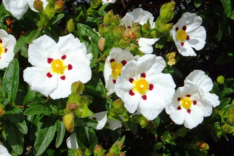 Help to identify flower white yellow red spot flowers forums help to identify flower white yellow red spot lancen 5 years ago mightylinksfo Image collections