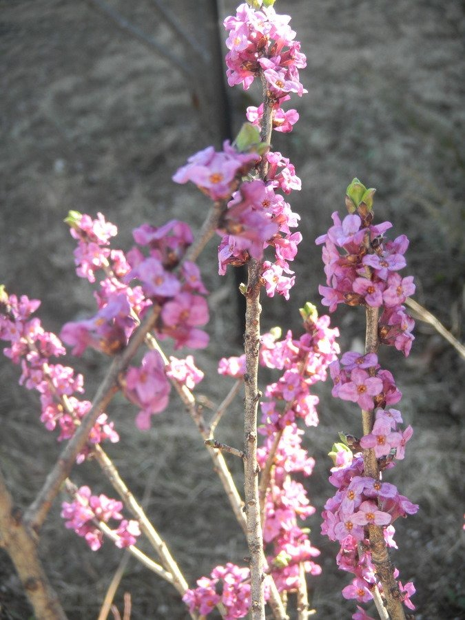 Spring Flowering Shrub Flowers Forums