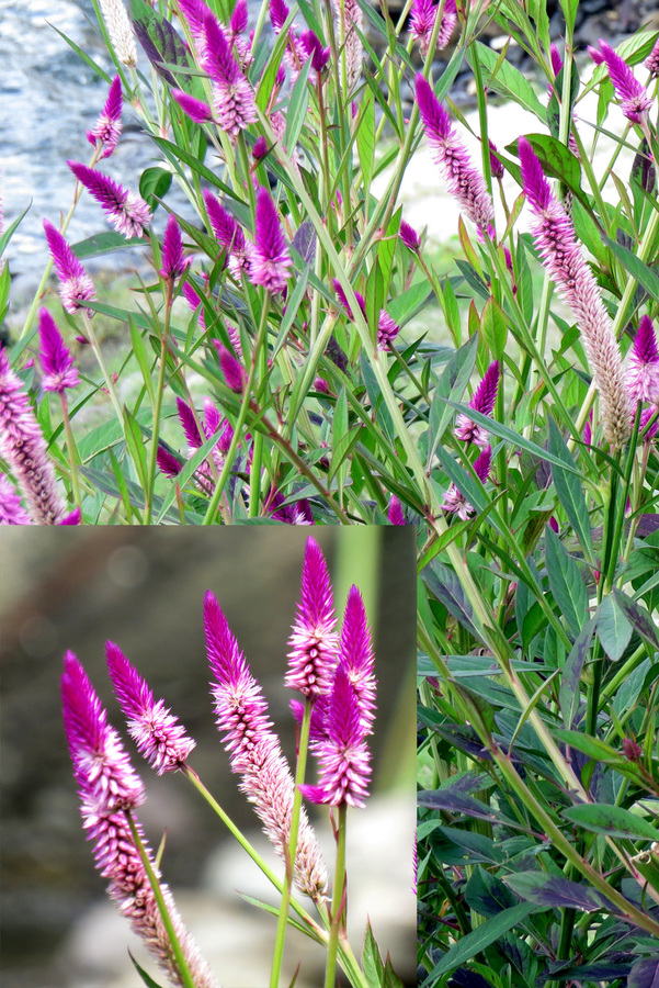 Id of a flower seen in the caribbean flowers forums pink at base of spike oldest flowers the leaves are mainly dark green andd sword like with patches of bronze on them id be very interested if mightylinksfo