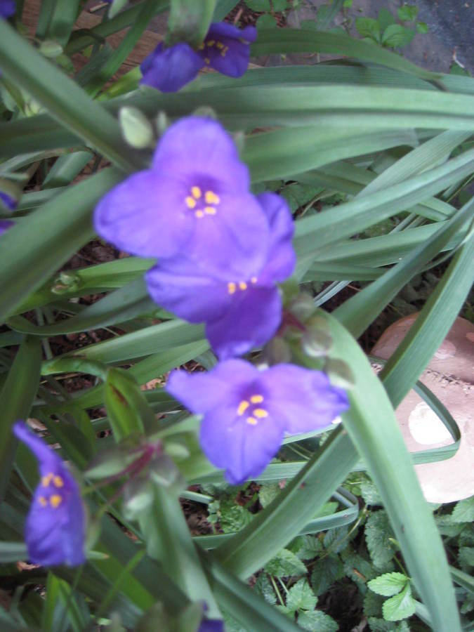 green leaves purple flowers - photo #23