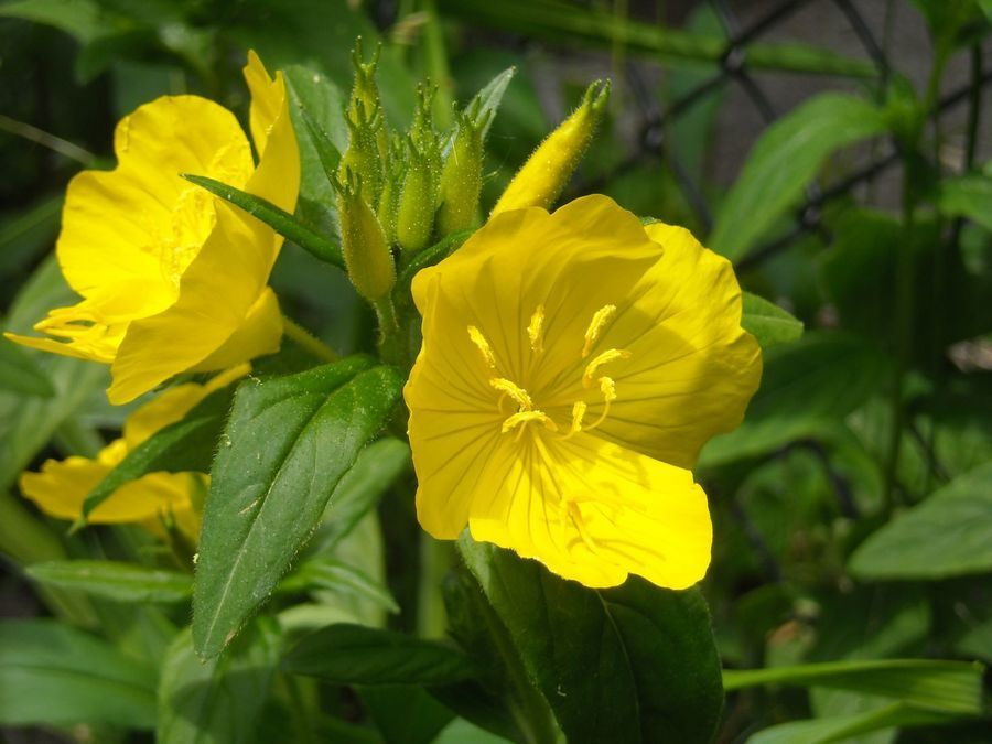 Fairly Common Yellow Flower Need Name Flowers Forums