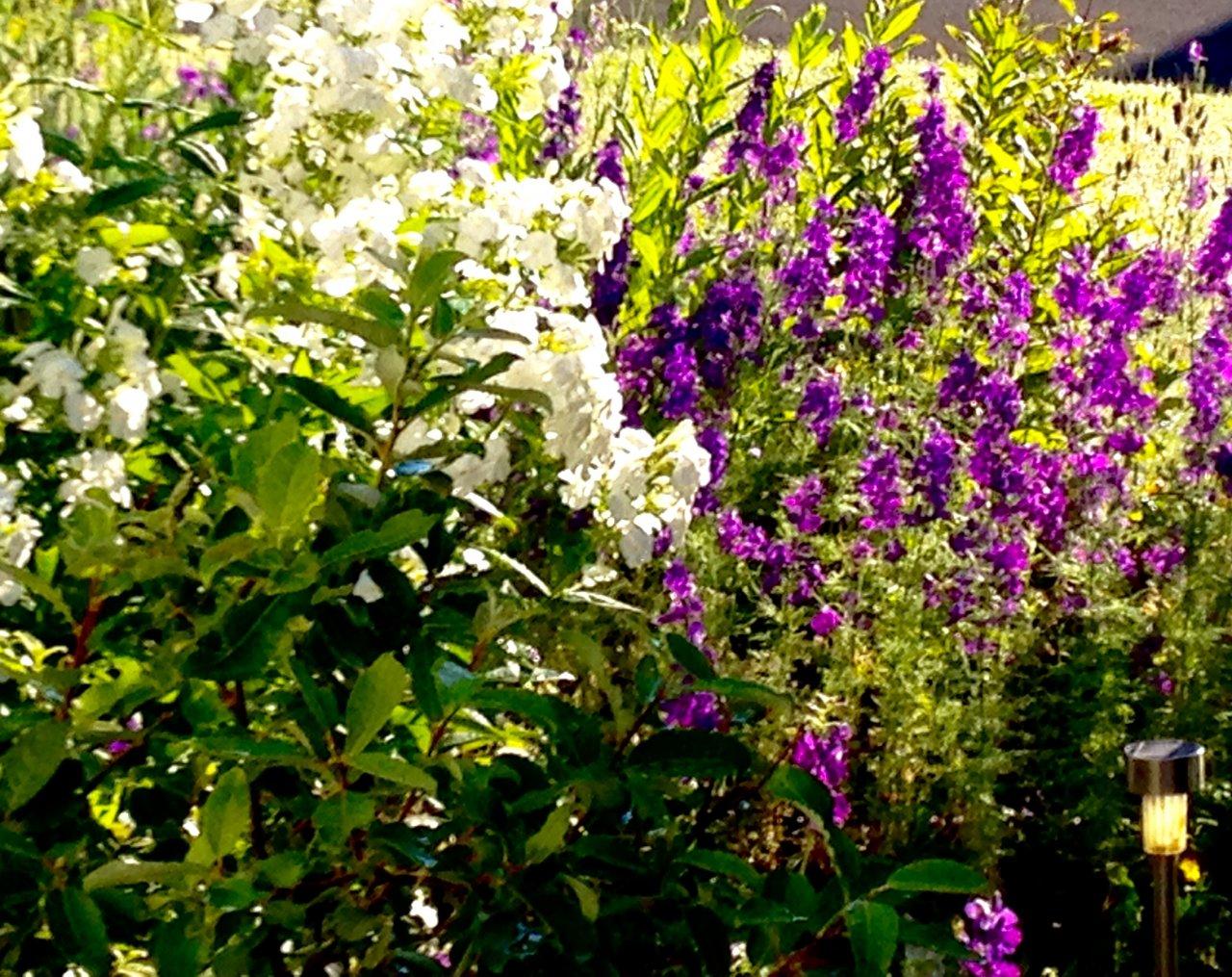 Purple Flowers On Tall Fern Like Plant Flowers Forums