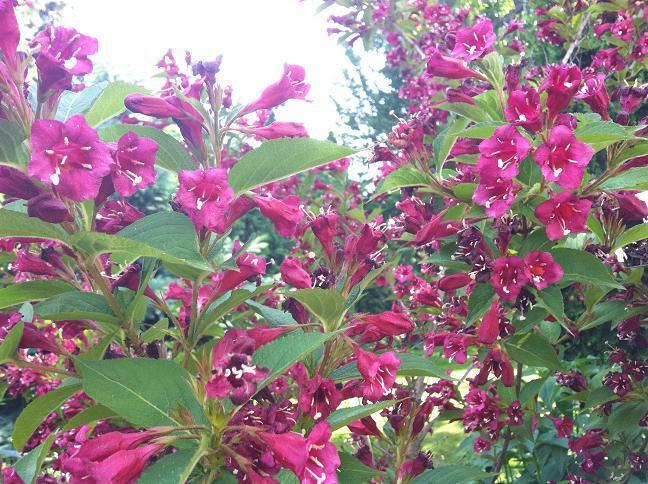 What Is This Purple Flowering Bush Tree Called Flowers