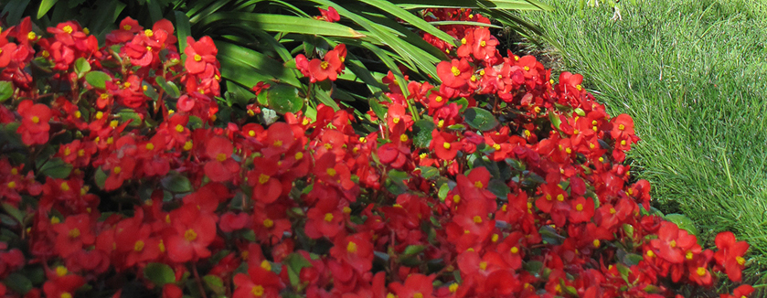 Red flowers with yellow centers what are these flowers i ap red flowers with yellow centers what are these flowers i ap mightylinksfo