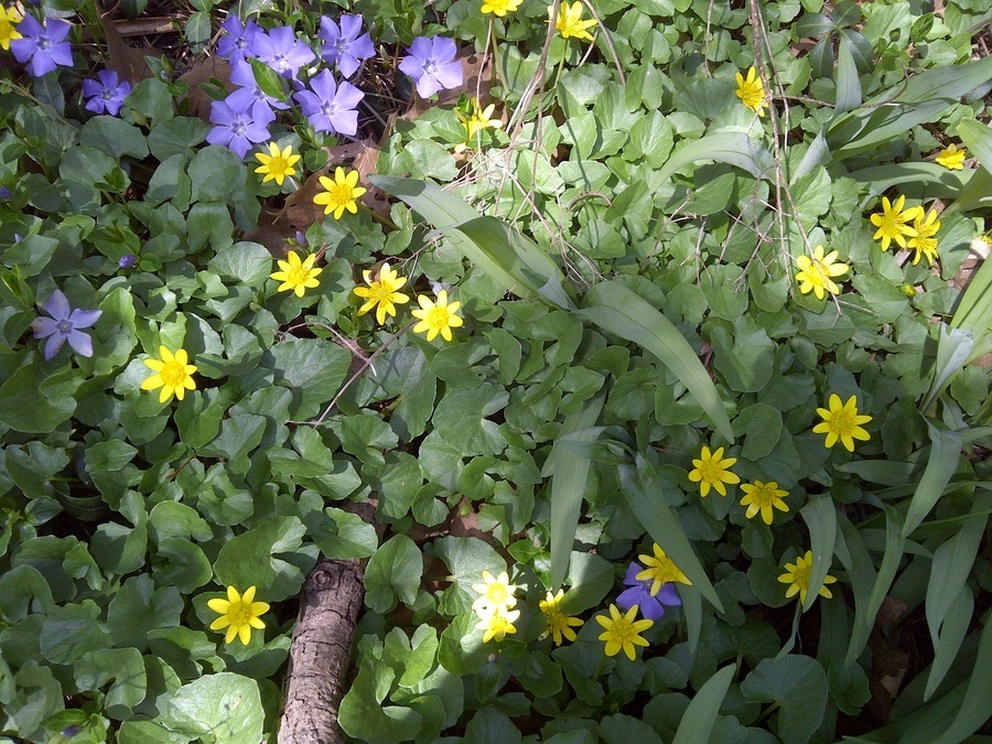 Yellow flower 8 petals low plant flowers forums yellow flower 8 petals low plant mightylinksfo