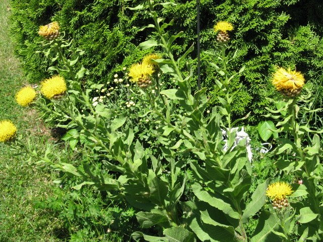 Could you identify this large fuzzy leafed plant with yellow flowers the name of this plant it is rather tall with gray green fuzzy leaves the flowers have an unusual pine cone looking base with a fluffy yellow top mightylinksfo