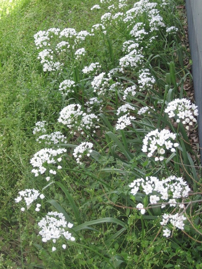 White Cluster Of Flowers On A Single Long Stem  12