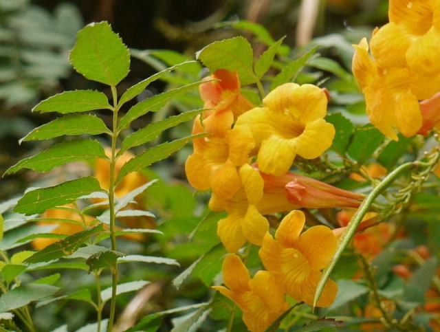 Please identify yellow trumpet flowers in clusters on 15 yellow trumpet flowers in clusters on 15 shrub comp zaydeshap 3 years ago mightylinksfo