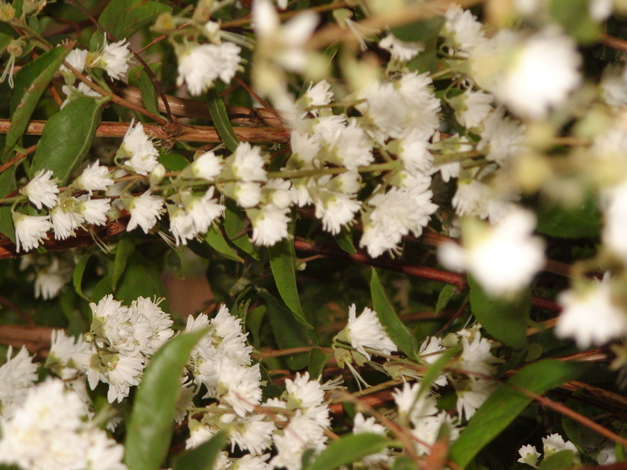 Tall 2m shrub deciduous lots small white flowers flowers forums shrub which is deciduous and has now come into flower with lots of small flowers that remind me of daisies the leaves are green oval and stems seems mightylinksfo