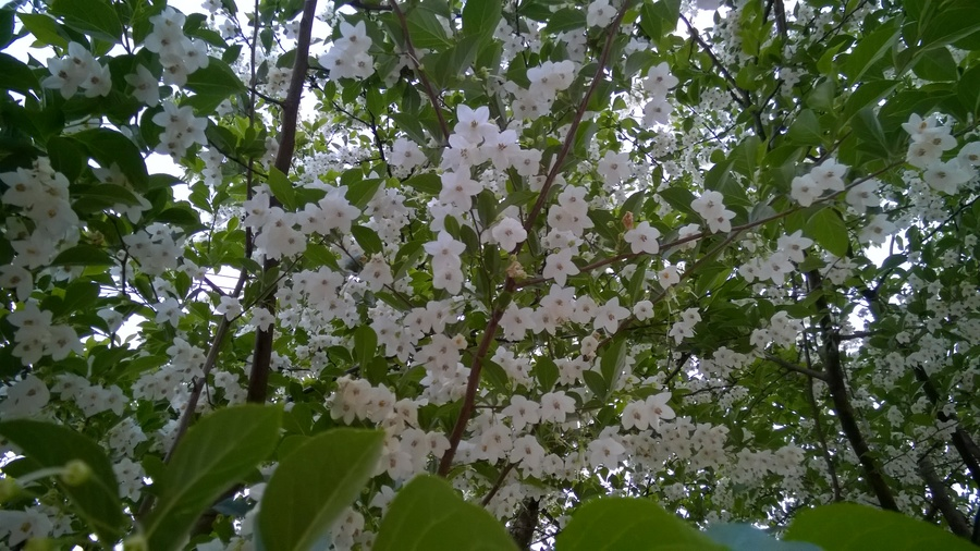 What is the name of this tree flowers forums this tree has white fragrant flowers hanging upside down the trees seem to have hundreds and hundreds of flowers see attached picture mightylinksfo