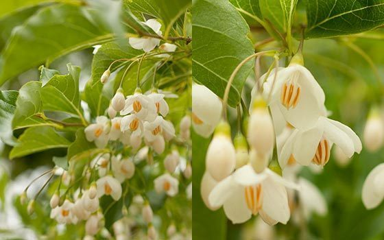 Tree with fragrant white flowers flowers forums tree with fragrant white flowers galileo 7 years ago mightylinksfo