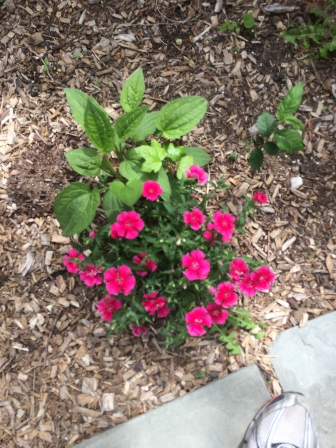 Pink flower or weed flowers forums and i just moved into a house and these flowers started growing quite quickly but the leaves look like weeds i would appreciate any help in iding them mightylinksfo