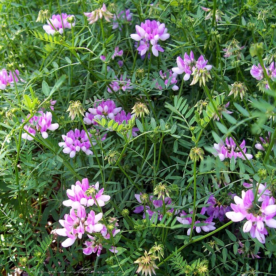 Clover leaf plant with pink flowers gallery flower decoration ideas clover leaf plant with pink flowers images flower decoration ideas clover leaf plant with pink flowers mightylinksfo